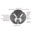 section through upper part of spinal cord vintage vector image vector image