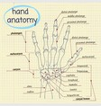 Hand Anatomy vector image vector image