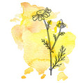 chamomile flower at watercolor background vector image vector image