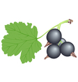 black currant vector image