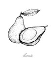 hand drawn of fresh green avocados on white backgr vector image vector image