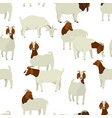 farming today white and brown boer goats vector image vector image