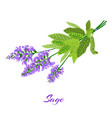 flowering sage sage herb vector image
