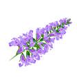 purple flower sage vector image vector image