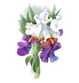 watercolor iris flower isolated on vector image