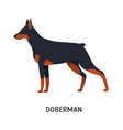 dobermann or doberman pinscher stunning short vector image