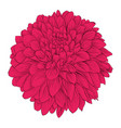 beautiful flower dahlia isolated on white vector image vector image