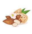 almond nut kernels vector image
