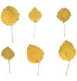 Autumn birch or Betula aspen Populus tremula vector image vector image