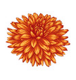 beautiful yellow dahlia isolated on white vector image vector image