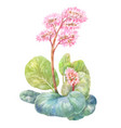 blooming tea badan watercolor on white vector image vector image