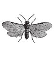 rose sawfly vintage vector image vector image