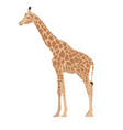 giraffe isolated on a white background graphics vector image
