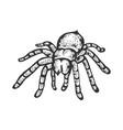 tarantula spider sketch engraving vector image vector image