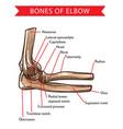 human anatomy elbow bones sketch