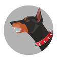 angry doberman with open mouth and red collar vector image vector image
