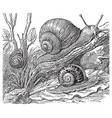 vintage engraving snails vector image vector image