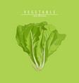 fresh green lettuce vector image