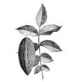 leaf and nut juglans regia elongata vintage vector image vector image