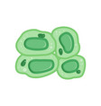 green plant cells with nucleus biology and vector image vector image