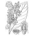 byrsanthus vintage vector image vector image