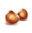 two unpeeled hazelnuts vector image
