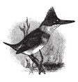 belted kingfisher vintage vector image vector image
