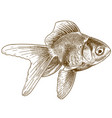 engraving goldfish vector image vector image