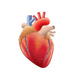 human heart isolated vector image vector image