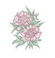 peonies hand draw of flower vector image