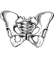 Human pelvis female vector image