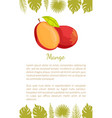 mango exotic juicy stone fruit poster text vector image