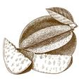 engraving mango vector image