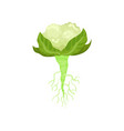 flat icon of cauliflower with bright green vector image vector image