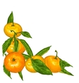 Decorative element with mandarins Tropical fruits vector image