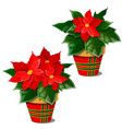 the flowering poinsettia plants in pots isolated vector image vector image