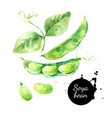 watercolor soya beans painted isolated fresh vector image