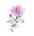 hand drawn watercolor pink flower isolated on vector image vector image