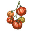 hand drawn tomatoes branch vector image vector image
