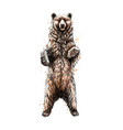 brown bear standing on his hind legs from a splash vector image vector image