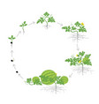 crop of watermelon plant circular round growth vector image