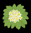 branch plumeria with many flowers and leaves vector image