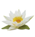 water lily on white background vector image vector image