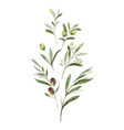 watercolor bouquet olive branches and vector image vector image