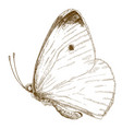 engraving of small cabbage white butterfly vector image vector image