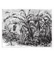banana plant vintage vector image vector image