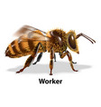 bee worker on white background vector image vector image