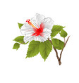 stem white hibiscus tropical flower vector image vector image