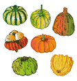 Vegetable pumpkins vector image vector image