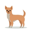 Chihuahua Dog Breed Flat Design vector image